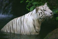 White Tiger. A white Tiger taking a swim Royalty Free Stock Photography