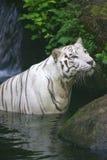 White Tiger. A white Tiger taking a swim Stock Image