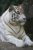 White Tiger. A white Tiger having a rest Royalty Free Stock Photos