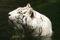 Free White Tiger Royalty Free Stock Image - 3676716