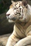 White Tiger. A portrait of a white tiger Stock Photo
