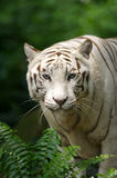 White Tiger. A white tiger on the prowl Stock Images