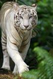 White Tiger. A white tiger on the prowl Stock Photo