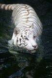 White Tiger. A White Tiger taking a swim Royalty Free Stock Photos