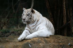 White tiger. Crouching Tiger, Bengal tiger, far-between in the world. They are usually located on the Mainland of Southeastern Asia and in central and southern Stock Photos