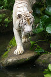 White Tiger. A shot of a white tiger Stock Photo