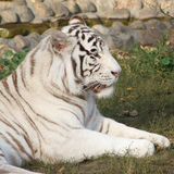 White tiger. Stock Images