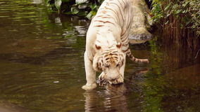 White tiger stock footage