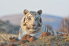 Free White Tiger Royalty Free Stock Photo - 43563065