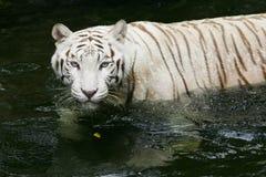 Free White Tiger Royalty Free Stock Photo - 4406585