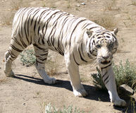 White Tiger. A white tiger walking in open field Stock Image