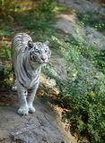 White tiger. A white tiger in beijing zoo Stock Image