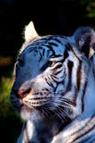 White Tiger. Unlike conventional tigers, which have black and gold markings, the white tiger is white with black stripes, pink paws and ice-blue eyes. The purest Royalty Free Stock Photo