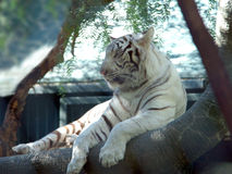 White Tiger 5 Royalty Free Stock Images