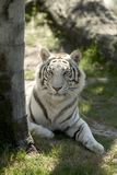 White Tiger. Laying in the grass Royalty Free Stock Photos