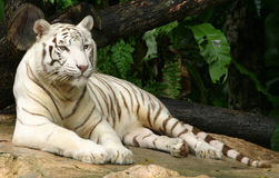 White Tiger. A white tiger at rest Stock Photos