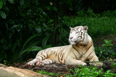 White Tiger. A white tiger at rest Royalty Free Stock Photos