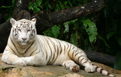 White Tiger. A white tiger at rest Royalty Free Stock Images