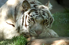 White Tiger 6 Royalty Free Stock Photo