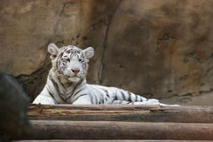 White tiger. Lying on the timbered bridge Stock Photo