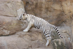 White tiger. The white tiger jumps on rocks Royalty Free Stock Photo