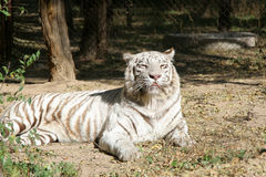 White tiger. IN the zoo, a white tiger, lazy in sun shine Royalty Free Stock Photo