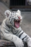 White tiger. Zoo animal cat Stock Photography