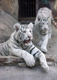 White tiger. Zoo animal cat Stock Photo