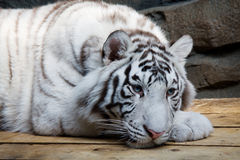 White tiger. (panthera tigris altaica) lies on wooden platform stock images