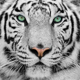 White tiger. Big white tiger close-up portrait Stock Photography