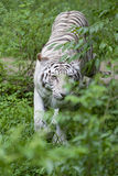 White Tiger. A White Tiger in the grass Royalty Free Stock Photography