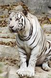 White tiger. In the zoo Royalty Free Stock Photography