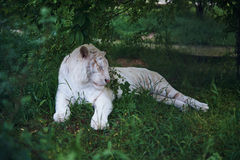 White tiger albino resting in the grass at the zoo.  Royalty Free Stock Photo