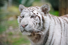 White tiger alert Royalty Free Stock Photo