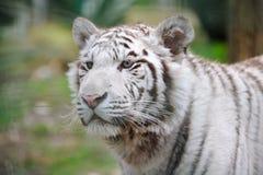 White tiger alert Royalty Free Stock Photo