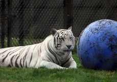 A white tiger in an amusement Royalty Free Stock Images