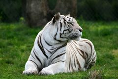 A white tiger in an amusement stock photo