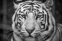 Big white tiger close-up royalty free stock image