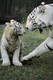 White Tiger with Baby. The mother and son playing Royalty Free Stock Photos