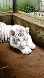 White tiger baby cub in zoo Royalty Free Stock Image