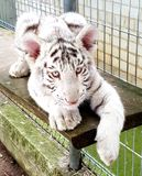 White tiger baby cub in zoo Royalty Free Stock Photos