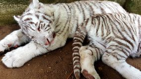 White tiger baby cub in zoo Stock Image