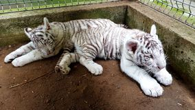 White tiger baby cub in zoo Stock Photos