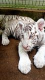 White tiger baby cub in zoo Stock Photo