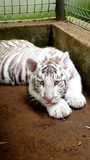 White tiger baby cub in zoo Royalty Free Stock Photography