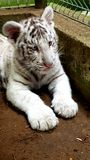 White tiger baby cub in zoo Royalty Free Stock Photo