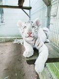 White tiger baby. In zoo royalty free stock photo