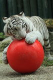 White tiger with ball Stock Photos