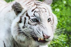White tiger bared teeth. With green grass Stock Image