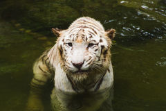 White tiger bathing in green water in jungle. White tiger in river in jungle Royalty Free Stock Photo